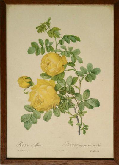 P.J. Redoute. Rosa sulfurea / Rosier jaune de soufre (Opera)