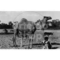 Africa Orientale Italiana - Dromedari