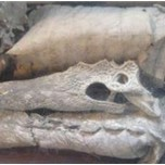 Il Coccodrillo di S. Maria del Monte