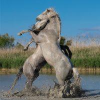 Antonella Stancheris. I cavalli della Camargue