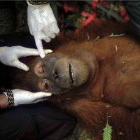 Alain Schroeder. Saving orangutans - Siena Awards 2020