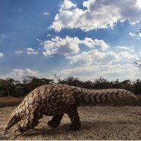 Brent Stirton. Pangolins in crisis - Siena Awards 2020