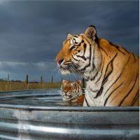 Steve Winter. Big cats - Siena Awards 2021